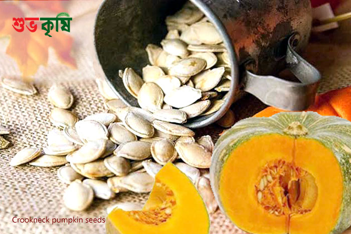 Crookneck pumpkin seeds